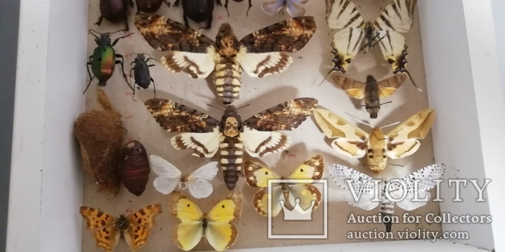 Энтомологическая коллекция насекомых №17