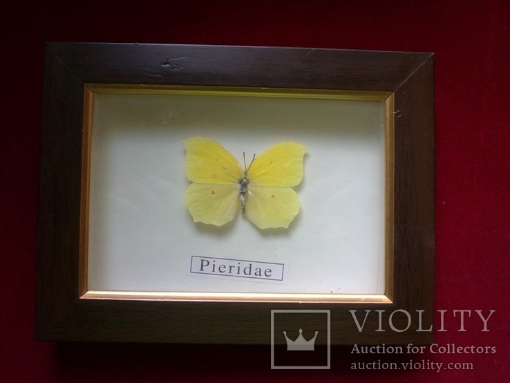 Бабочка Pieridae в рамке