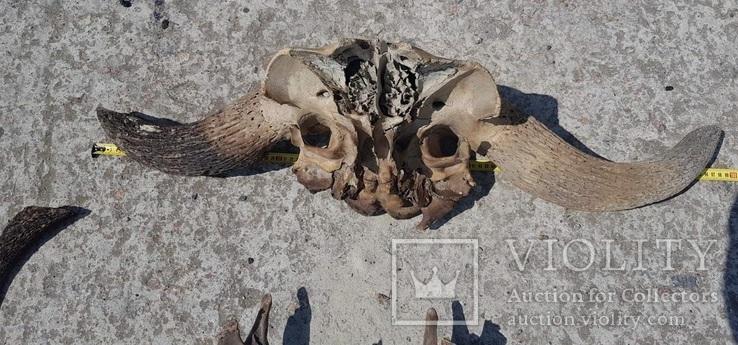 Череп древнего бизона, фото №3