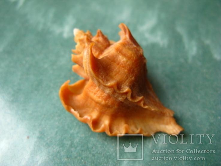 Морская раковина мурекс Pteropurpura falcatа