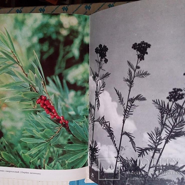 Илюстрированая энциклопедия растений, фото №10