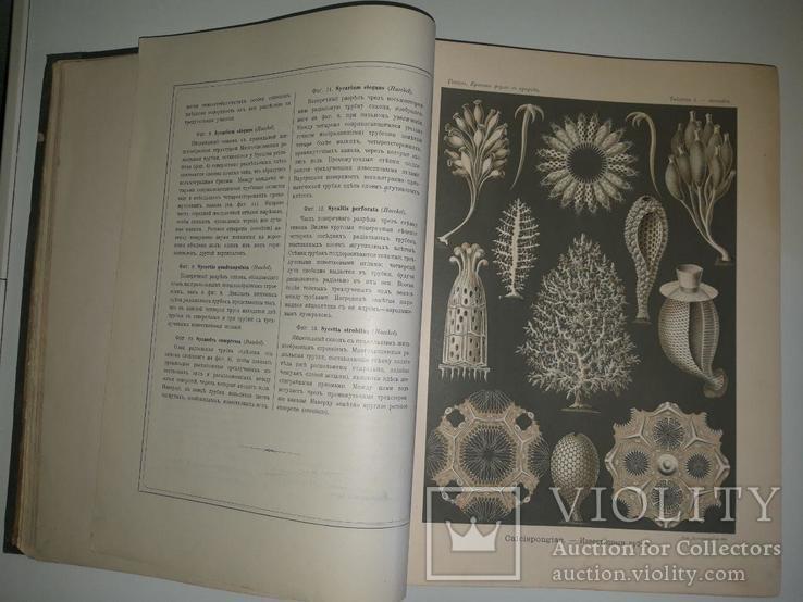 Красота форм в природе. Э. Геккеля. 100 таблиц с описательным текстом. 1904 год, фото №7