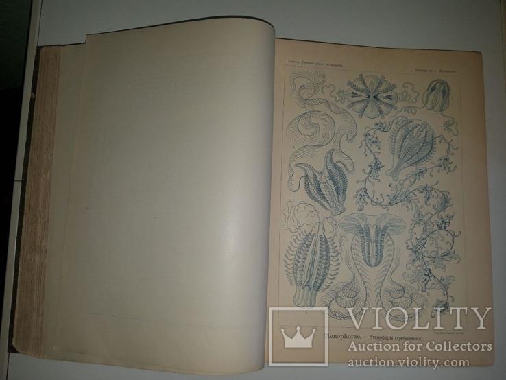 Красота форм в природе. Э. Геккеля. 100 таблиц с описательным текстом. 1904 год, фото №8