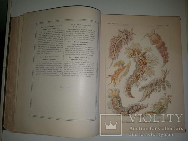 Красота форм в природе. Э. Геккеля. 100 таблиц с описательным текстом. 1904 год, фото №9