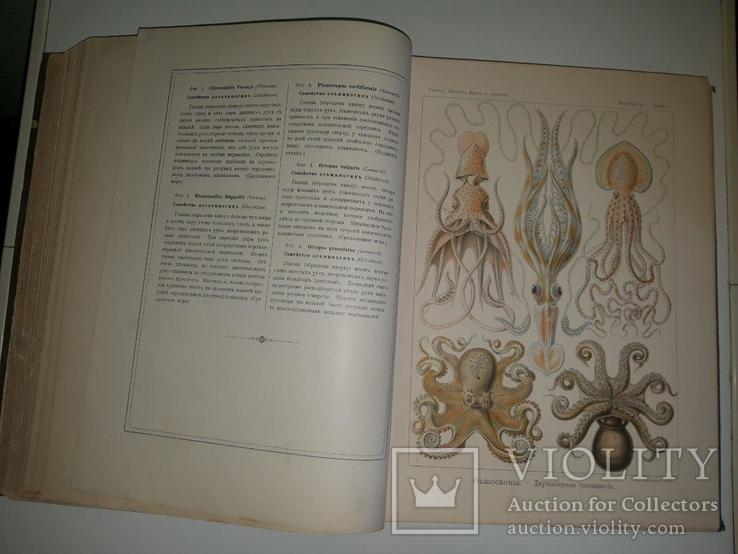 Красота форм в природе. Э. Геккеля. 100 таблиц с описательным текстом. 1904 год, фото №10
