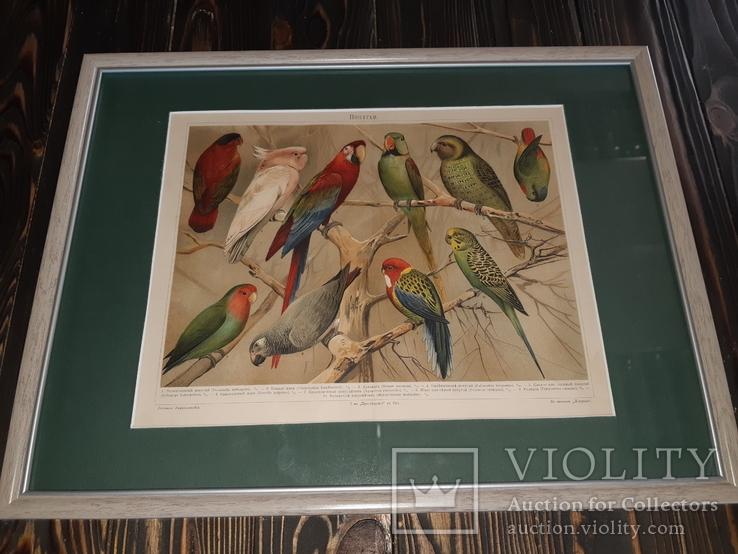 1900 Хромолитография Попугаи