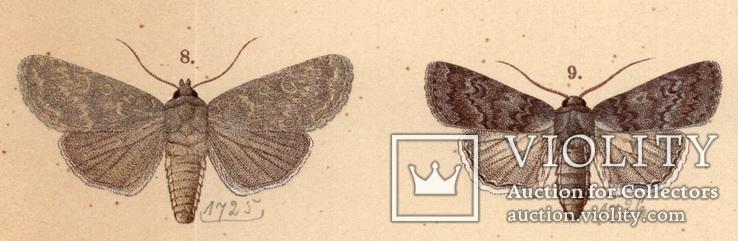 Старинная цветная литография.Gross-Schmetterlinge Europas. 1894 год. (28,6х21,1см.). (3).., фото №3