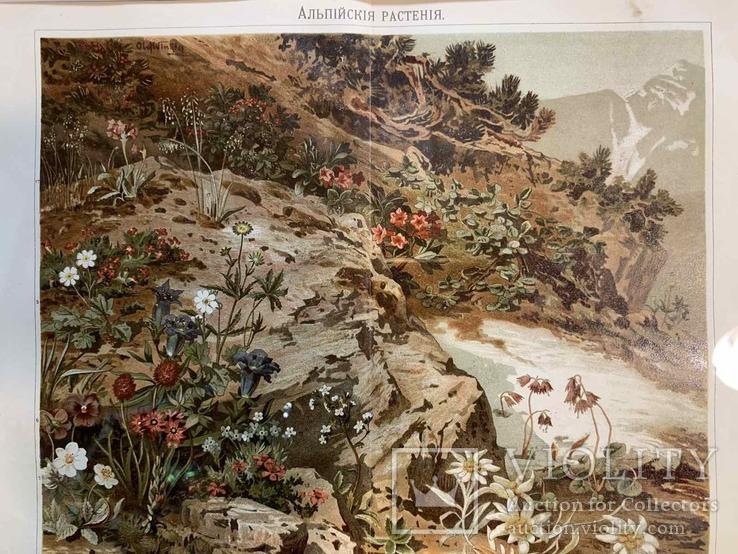 1900 Хромолитография Альпийские растения, фото №4