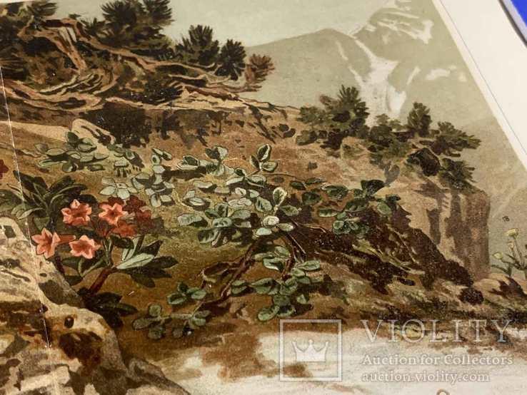 1900 Хромолитография Альпийские растения, фото №5