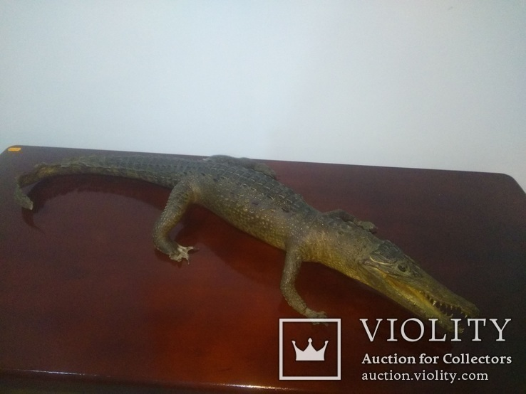 Крокодил мумия, фото №3