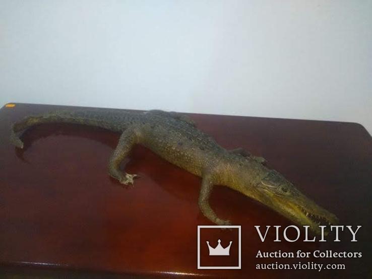 Крокодил мумия, фото №5