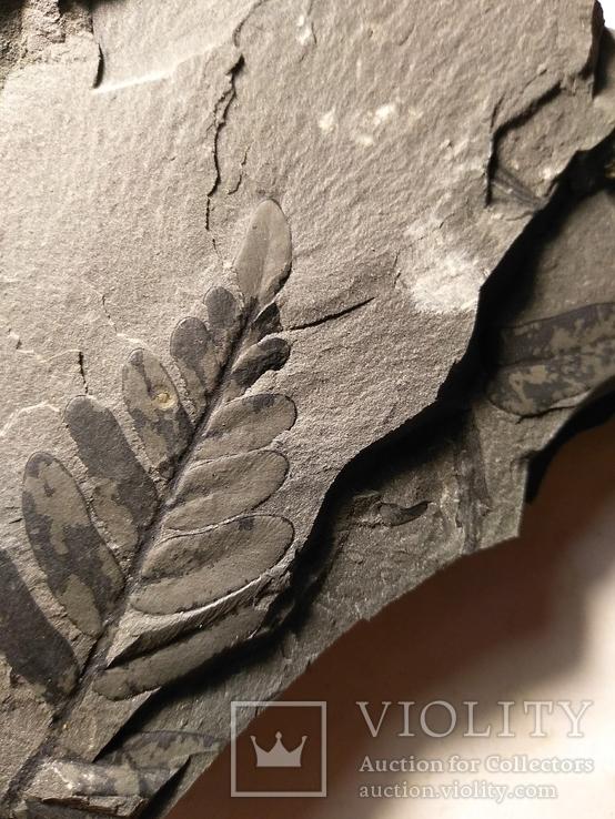 Флора карбона14, фото №2