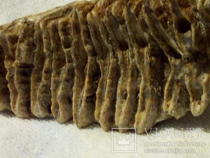 Зуб мамонта 520г., фото №4