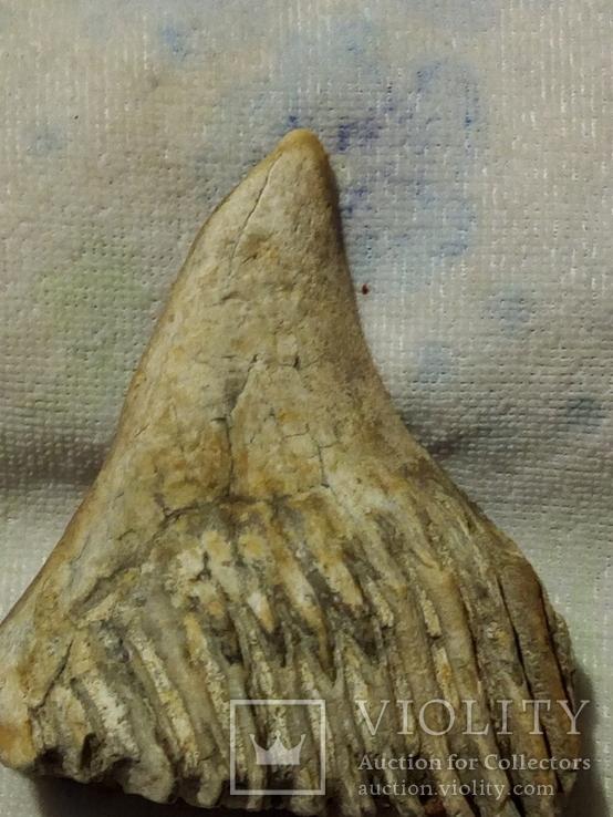 Зуб мамонта 520г., фото №5