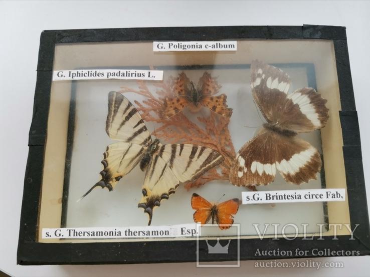 Бабочки под стеклом, фото №2