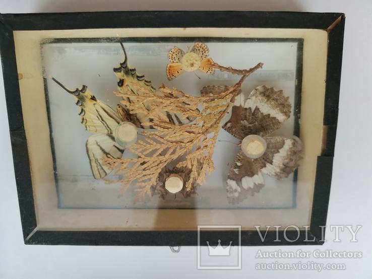 Бабочки под стеклом, фото №3