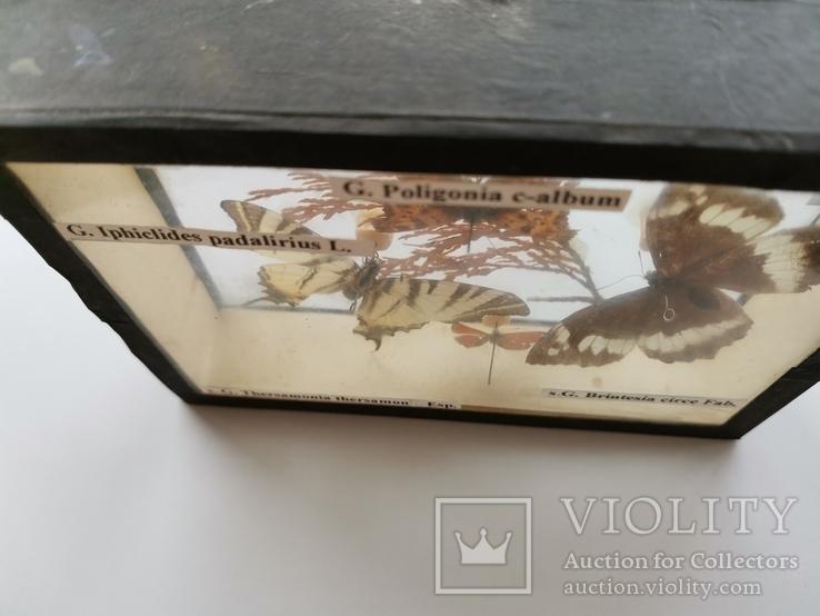 Бабочки под стеклом, фото №5