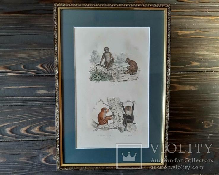 1840-е Гравюра обезьян
