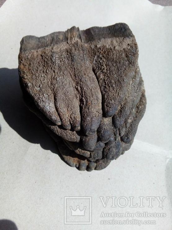 Зуби мамонта 580 грам., фото №3