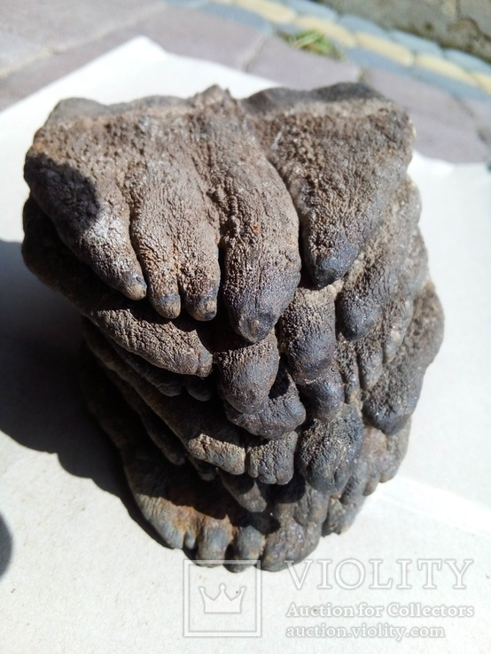 Зуби мамонта 580 грам., фото №2