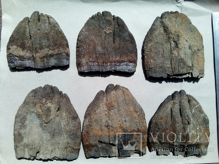 Зуби мамонта 580 грам., фото №9