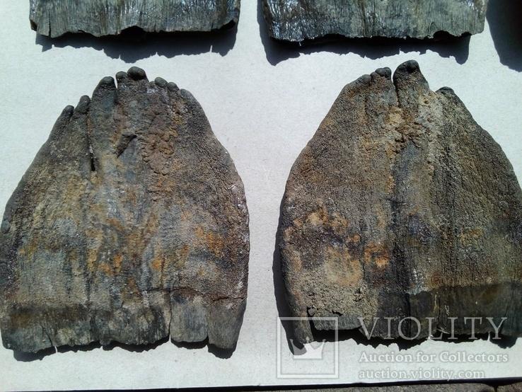 Зуби мамонта 580 грам., фото №11