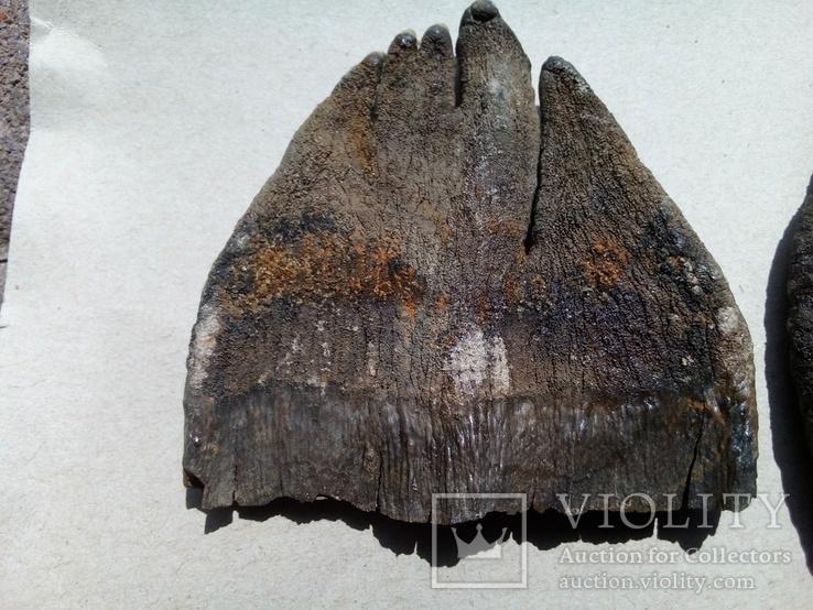 Зуби мамонта 580 грам., фото №13