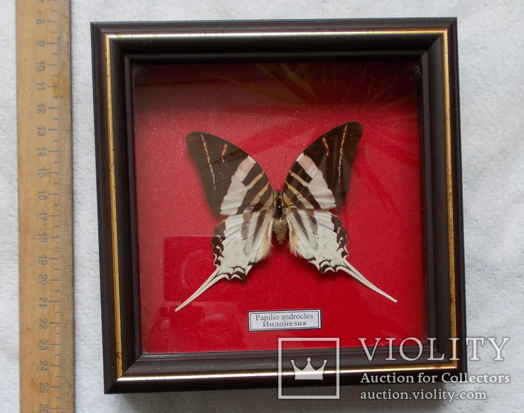 Бабочка в рамке Papilio androcles  Индонезия, фото №2