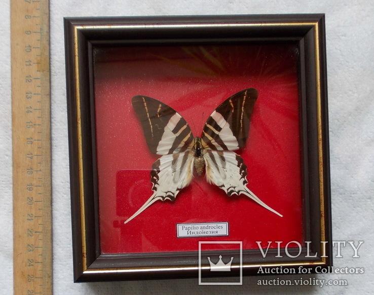 Бабочка в рамке Papilio androcles  Индонезия, фото №3