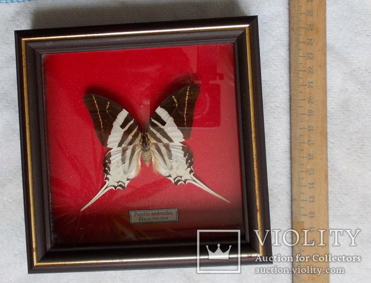 Бабочка в рамке Papilio androcles  Индонезия, фото №4