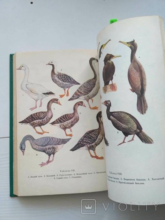 Птицы открытых и околоводных пространств ссср, фото №7