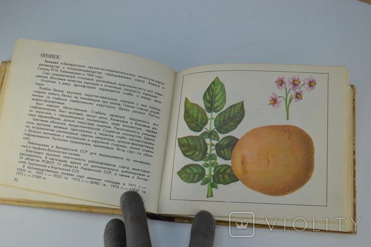 Каталог Сорта Картофеля, фото №5