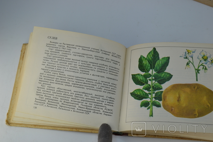 Каталог Сорта Картофеля, фото №7