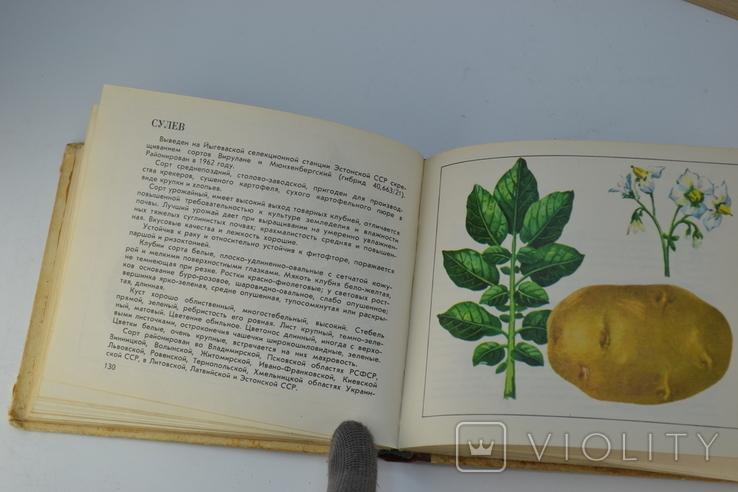 Каталог Сорта Картофеля, фото №8