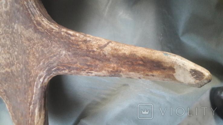 Рог оленя. Большой., фото №8