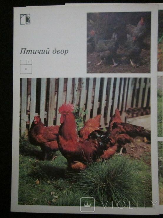 Комплект открыток СССР. Птичий двор. 1989г., фото №12