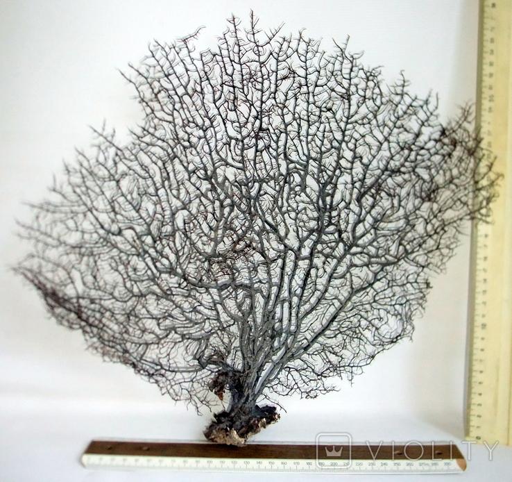 Чёрный коралл ветка 38 х 42 см из Индийского океана. 4., фото №3