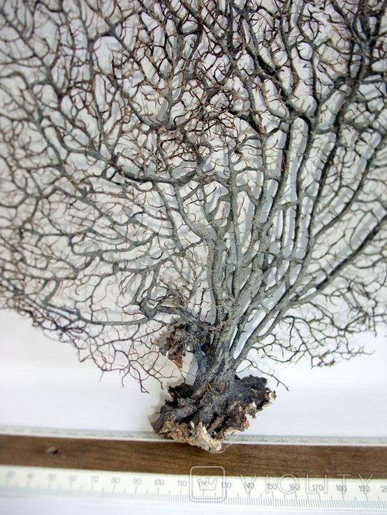 Чёрный коралл ветка 38 х 42 см из Индийского океана. 4., фото №4