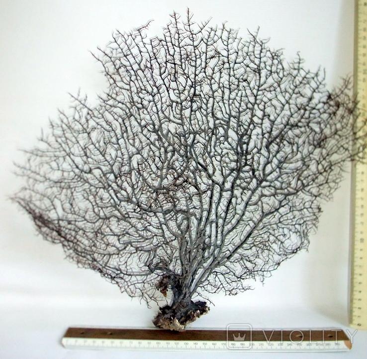 Чёрный коралл ветка 38 х 42 см из Индийского океана. 4., фото №5