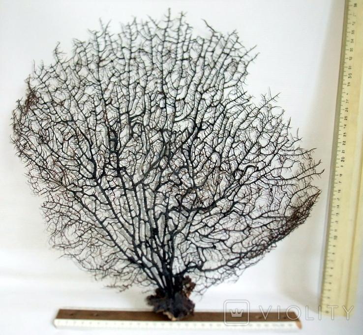 Чёрный коралл ветка 38 х 42 см из Индийского океана. 4., фото №6