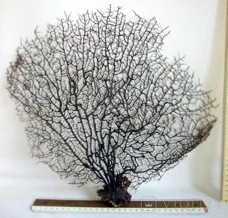Чёрный коралл ветка 38 х 42 см из Индийского океана. 4., фото №7