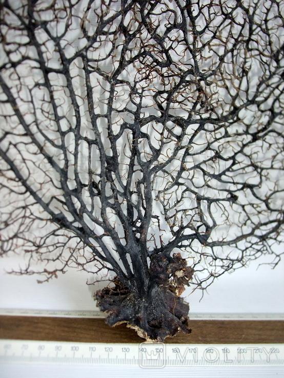 Чёрный коралл ветка 38 х 42 см из Индийского океана. 4., фото №8