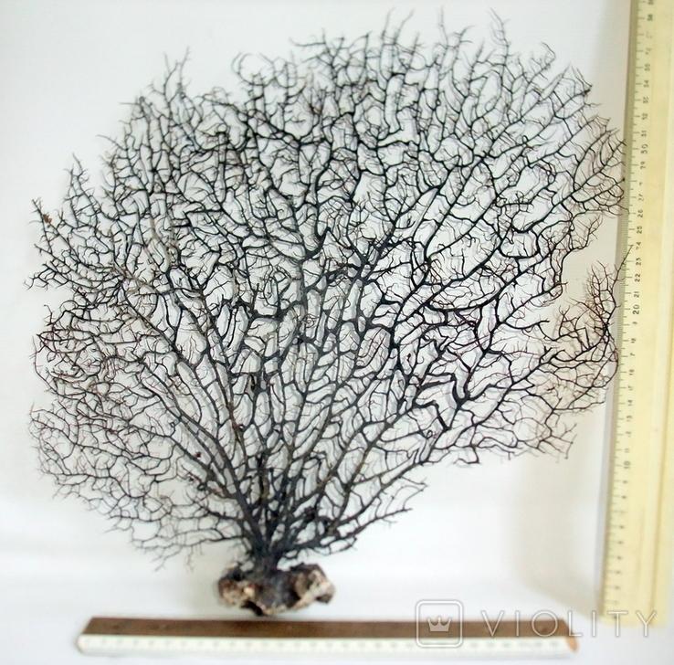 Чёрный коралл ветка 38 х 40 см из Индийского океана. 5., фото №4