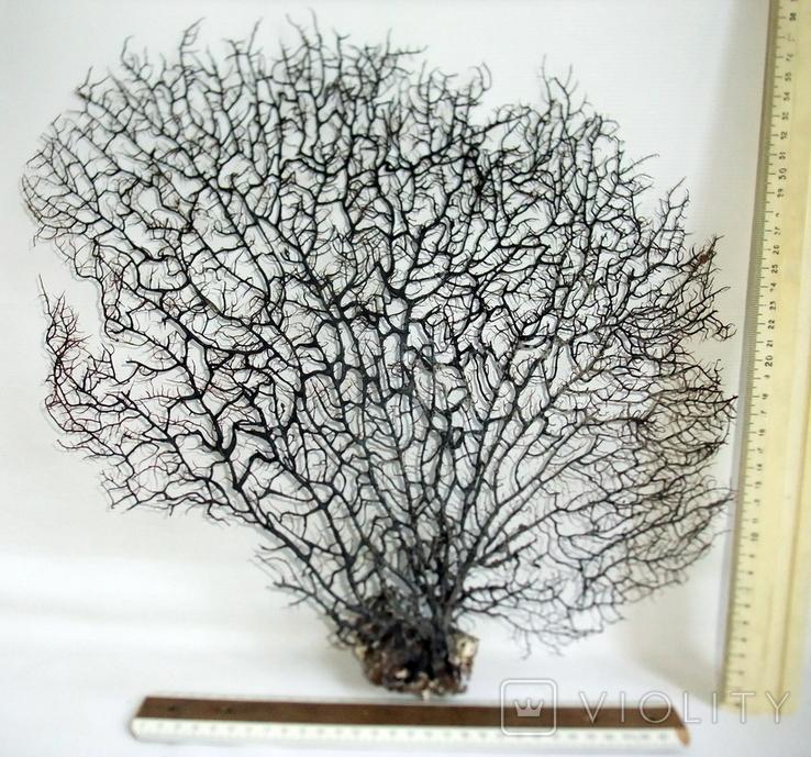 Чёрный коралл ветка 38 х 40 см из Индийского океана. 5., фото №6