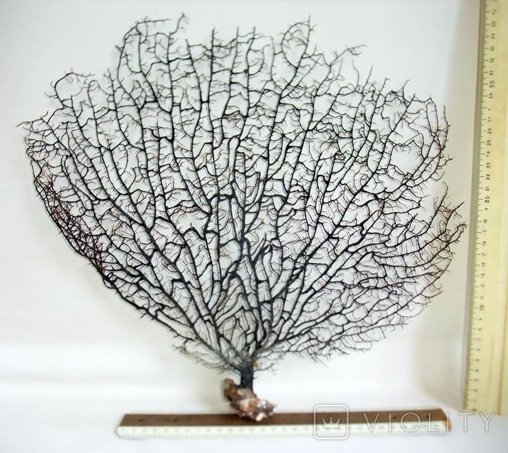 Чёрный коралл ветка 35 х 38 см из Индийского океана. 6., фото №3