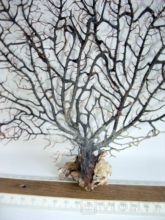 Чёрный коралл ветка 35 х 38 см из Индийского океана. 6., фото №8