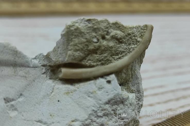 Скапофода - лопатоногий моллюск - окаменелость в мелу, фото №6