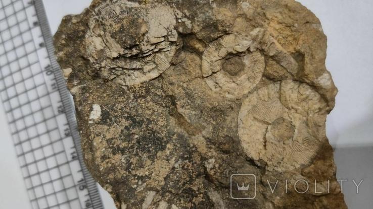 Морские лилии окаменелость, фото №6