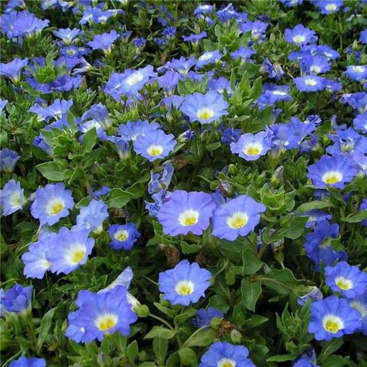 Насіння квіти Петунія Небесно Блакитна 0,2 г 200480, фото №3