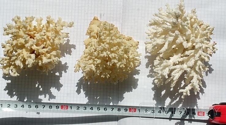 Три куща коралів., фото №2